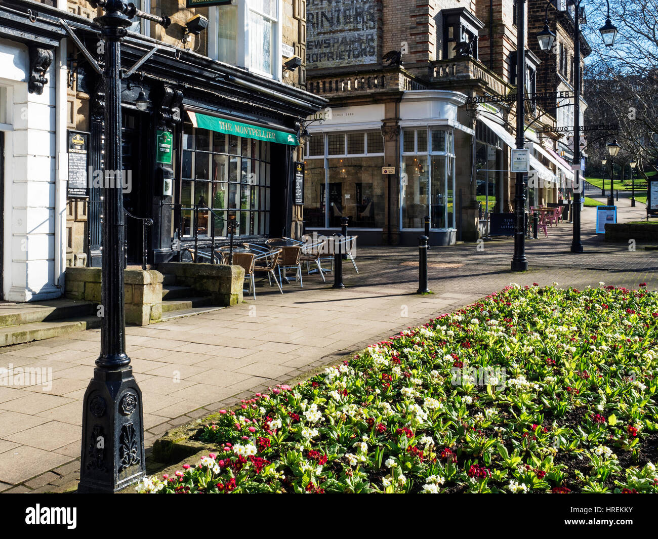 Primulas in Bloom on Montpellier Parade in Early Spring Harrogate North Yorkshire England - Stock Image