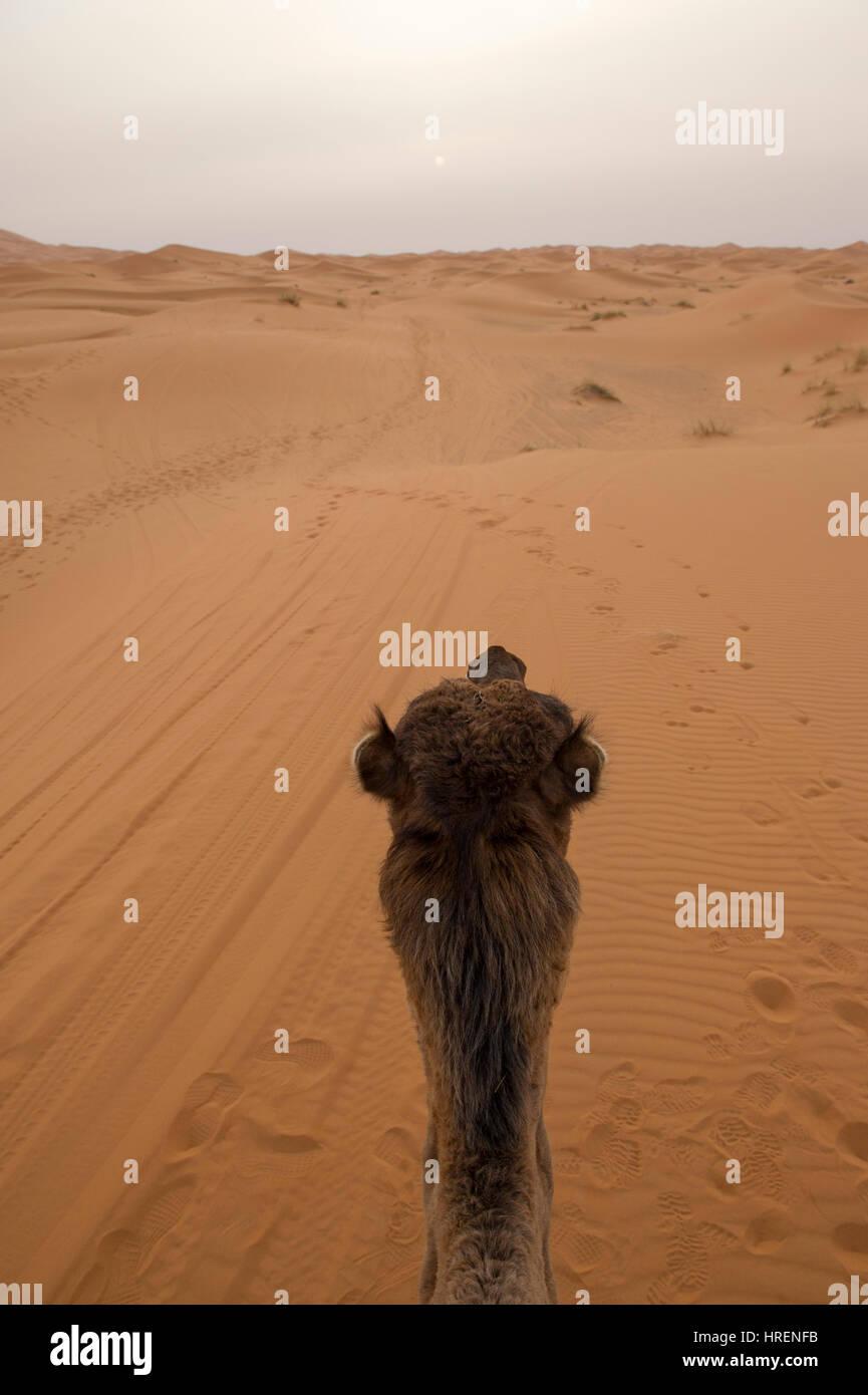 Camel Trekking into the sands of the Sahara Desert in Merzouga, Morocco - Stock Image