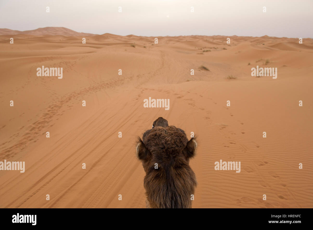 Camel Trekking into the sands of the Sahara Desert in Merzouga, Morocco Stock Photo