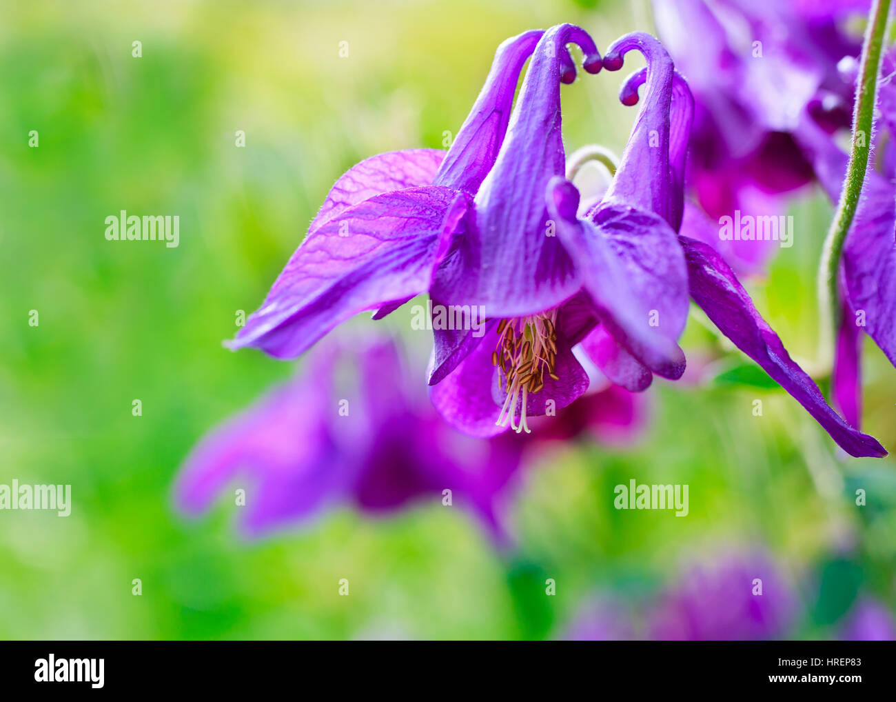 Old Fashioned Columbine Flowers In The Summer Garden Stock Photo