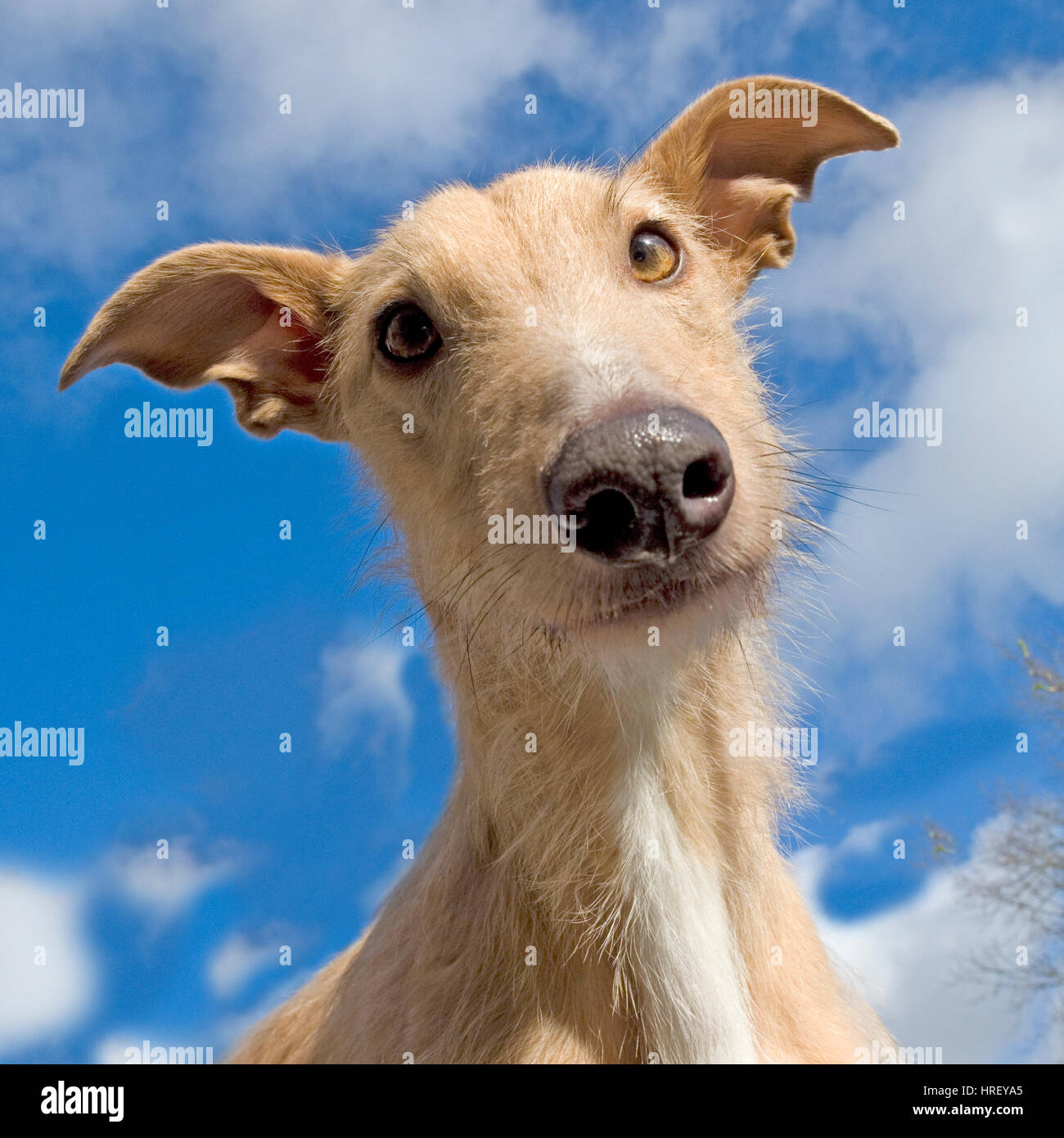 Lurcher - Stock Image
