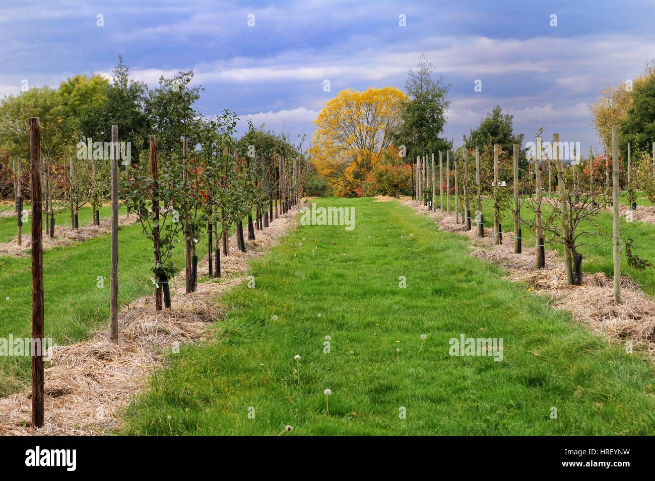 Rows of cultivated fruit trees in Autumn or Fall - Stock Image
