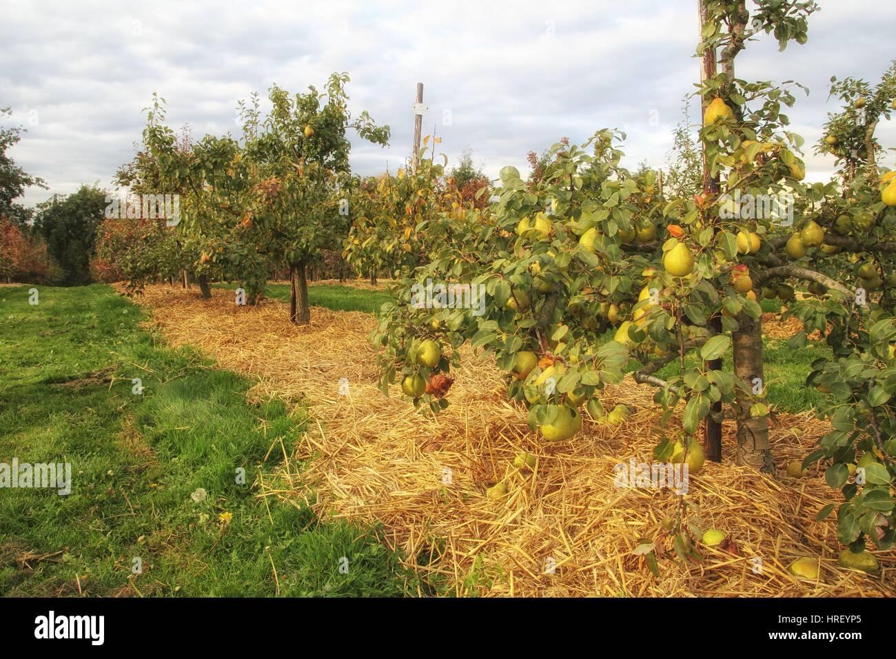 Ripe pear fruit on trees in the autumn fall sunshine - Stock Image