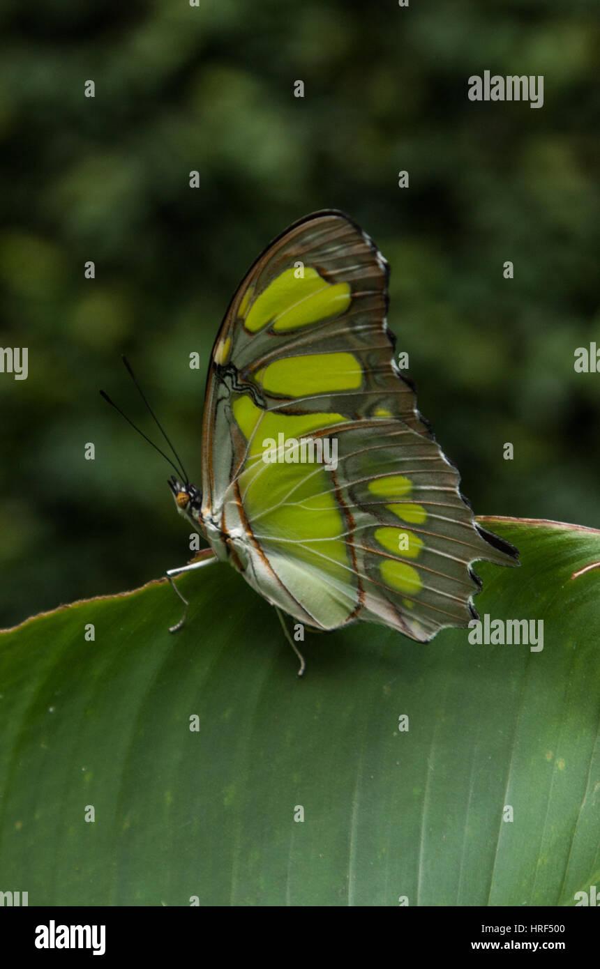 Malachite butterfly (Siproeta Stelenes) Photographed in Foz do Iguaçu - Paraná - Brazil Stock Photo