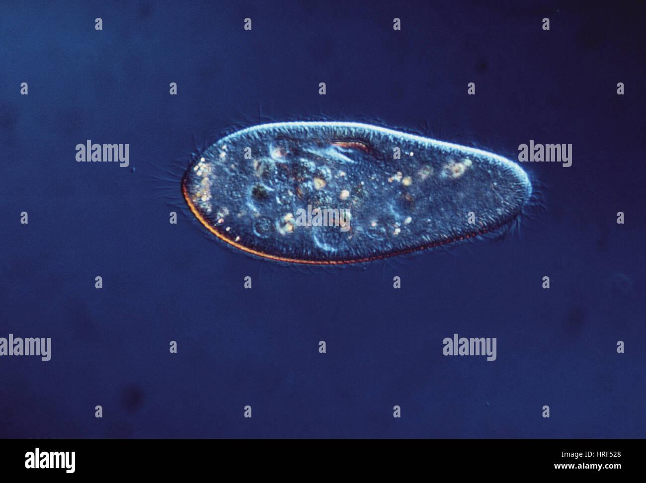 Paramecium caudatum (LM) Stock Photo