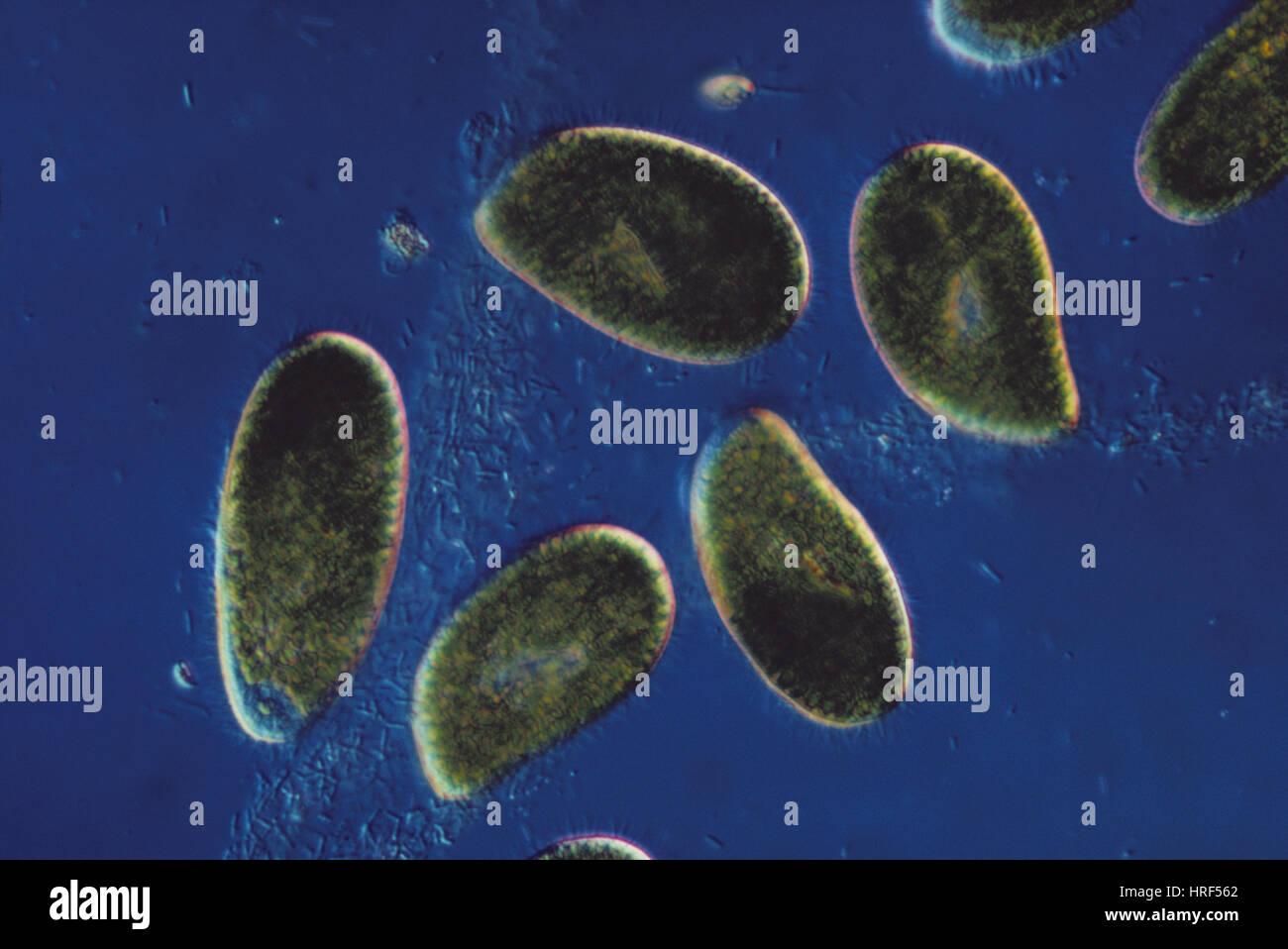 Paramecium bursaria (LM) Stock Photo