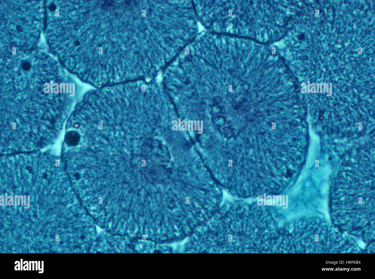 Whitefish Blastula Cells, Cytokinesis, LM Stock Photo: 134943982 - Alamy