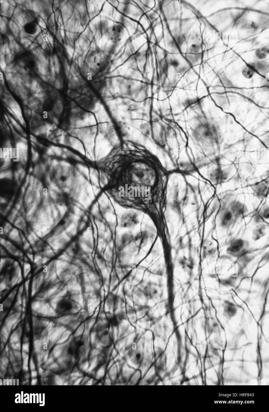 Neuron, TEM - Stock Image