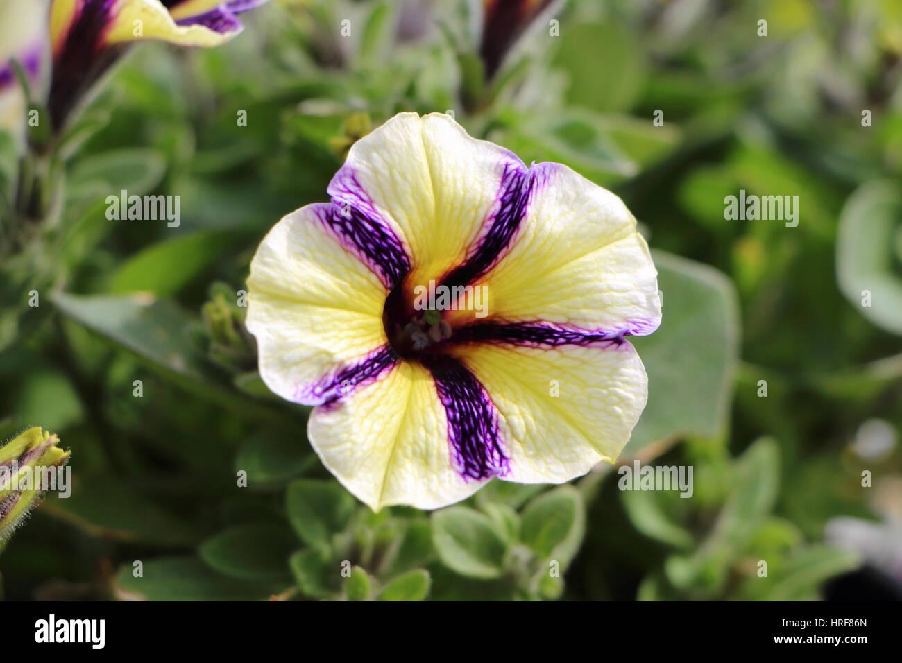Petunia Flower Garden Spring Stock Photos & Petunia Flower Garden ...