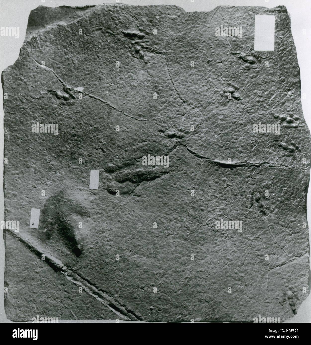 Dinosaur Tracks - Stock Image