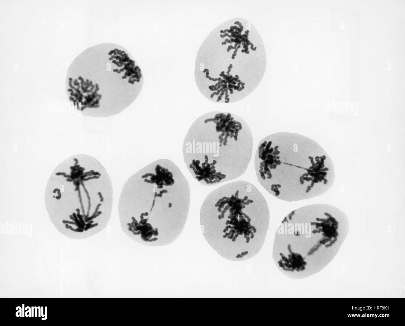 Meiosis in T. erectum after Radiation Exposure - Stock Image