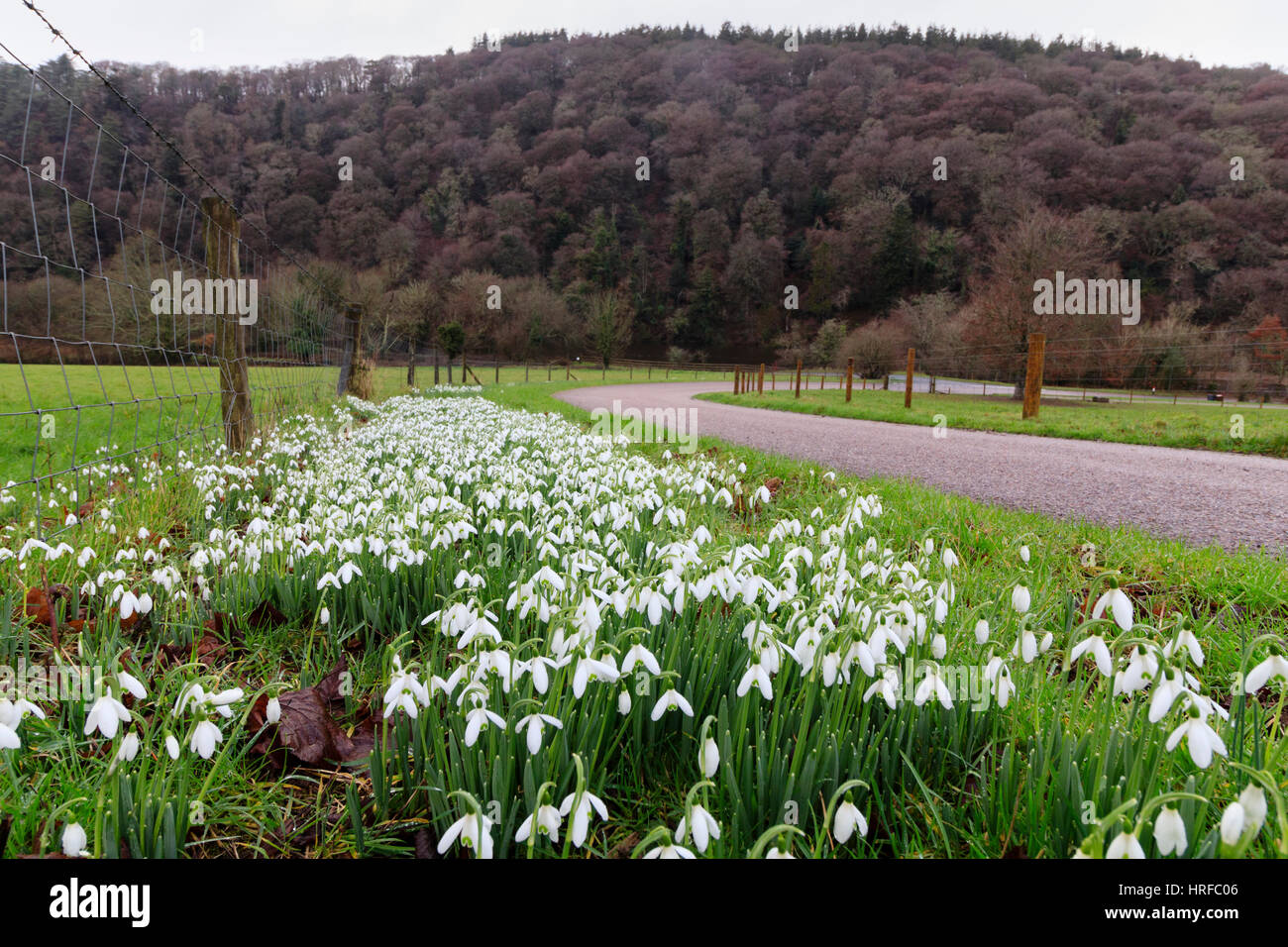 Naturalised snowdrops, Galanthus nivalis, in early February on the road leading down to Lopwell Dam, River Tavy, - Stock Image