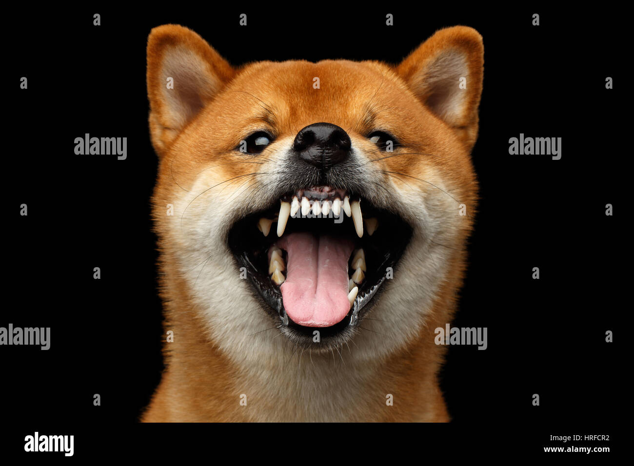Aggressive Portrait of Growls Shiba inu Dog, Isolated Black Background, Front view - Stock Image