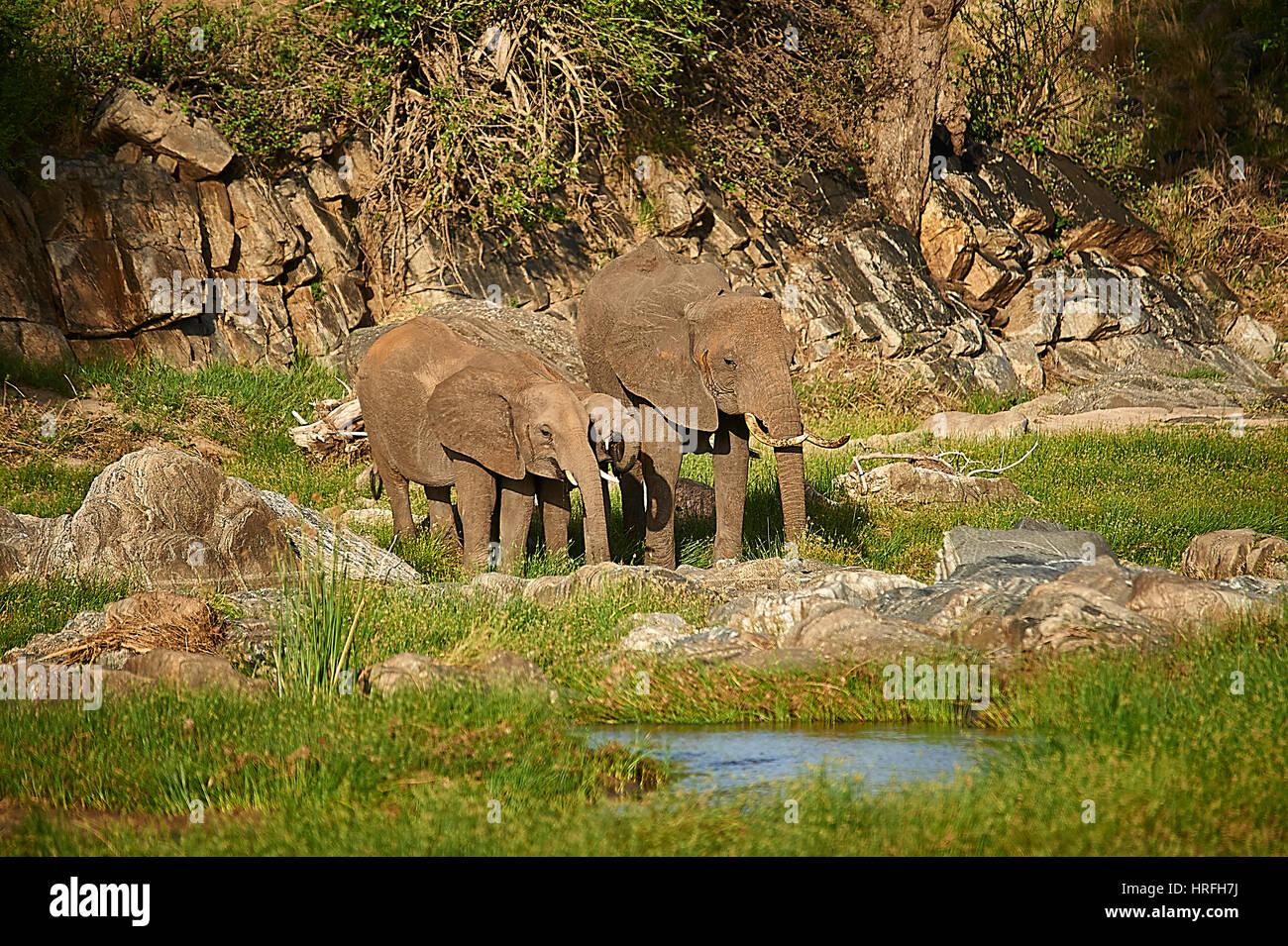 Elephants drinking at Tarangire River, Tanzania - Stock Image