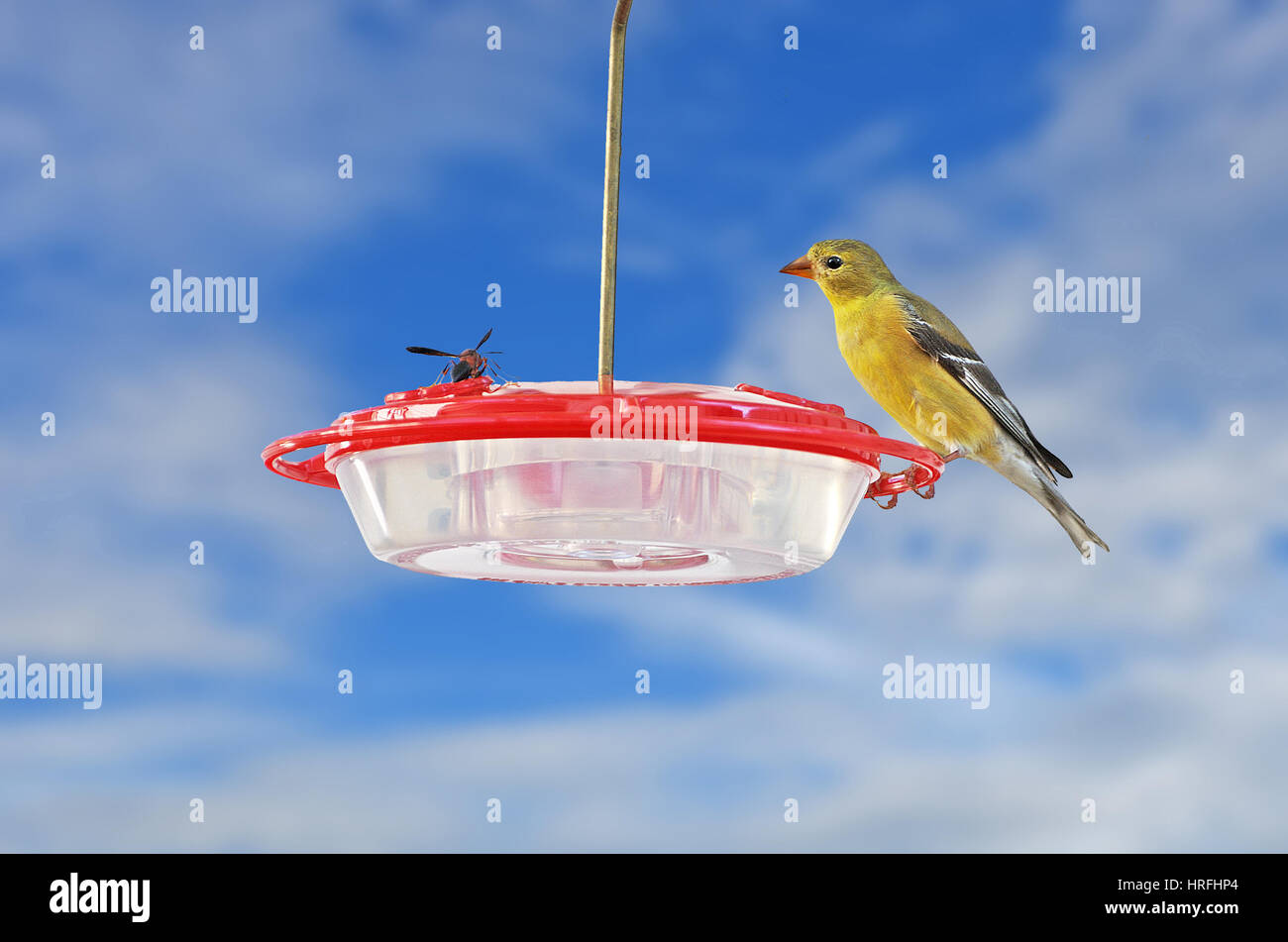 A large Wasp and a American Goldfinch (Spinus tristis) face off on a bird feeder. - Stock Image