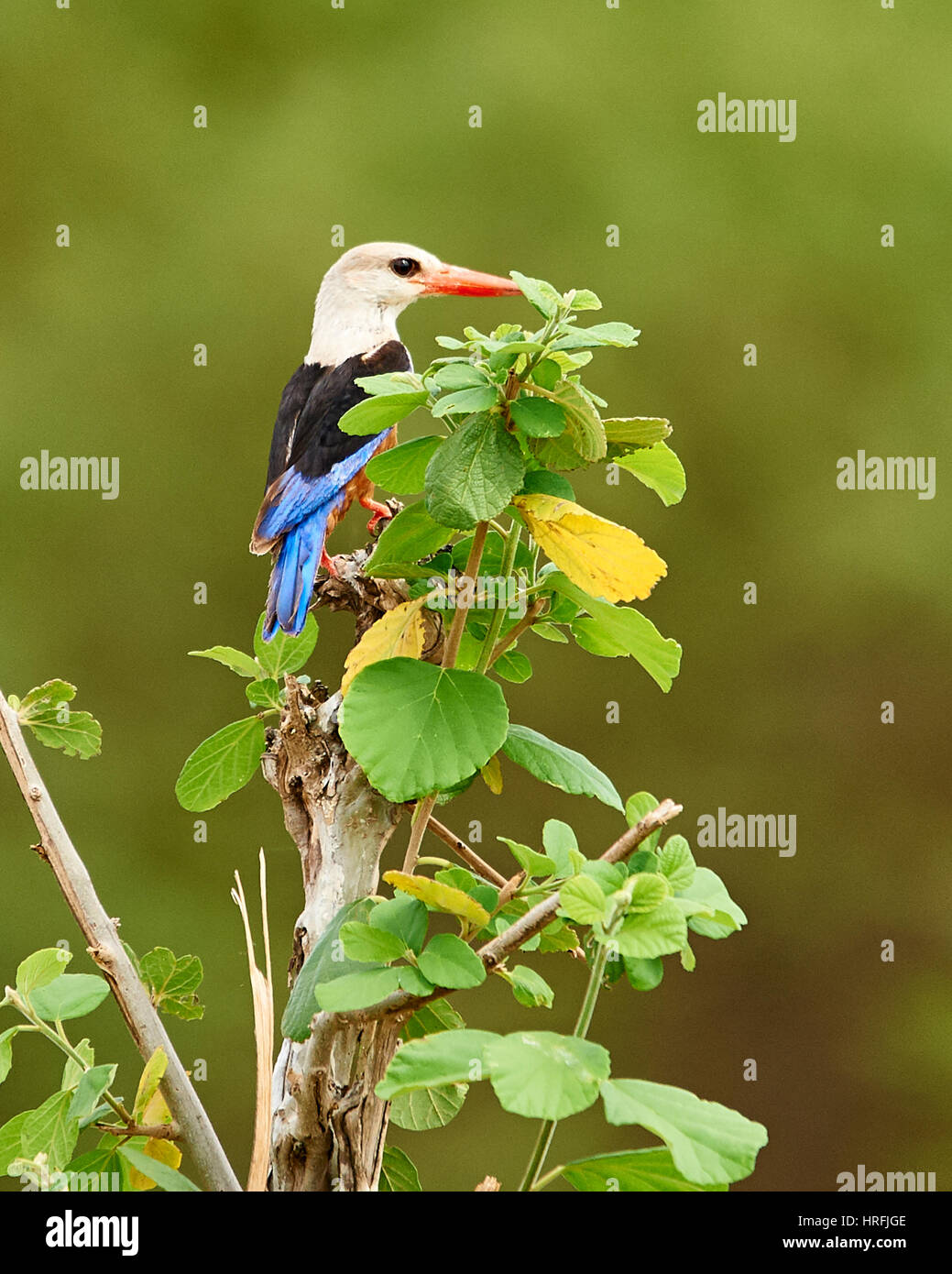 Grey-headed Kingfisher lurking for prey - Stock Image