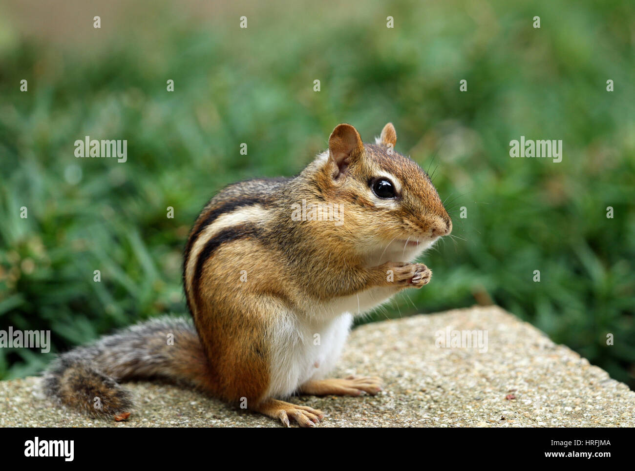 Close-up of Eastern chipmunk (Tamias striatus) sitting up in a begging position Stock Photo
