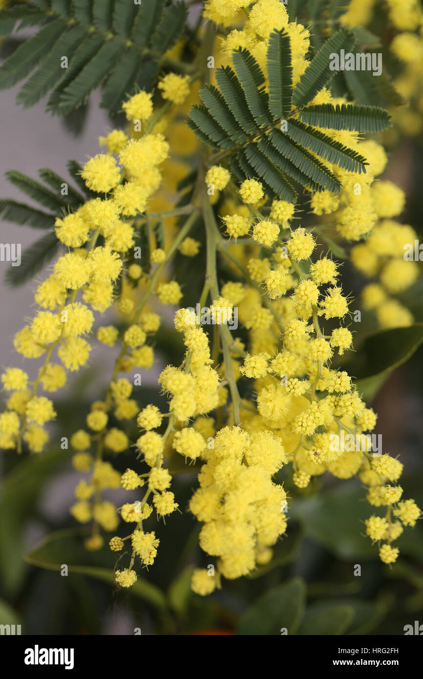 Yellow Mimosa Flowers On The Plant In March Stock Photo 134962901