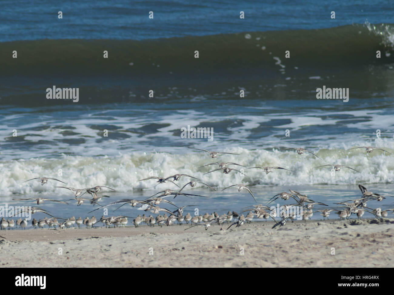 Surf and Sandpipers - Stock Image