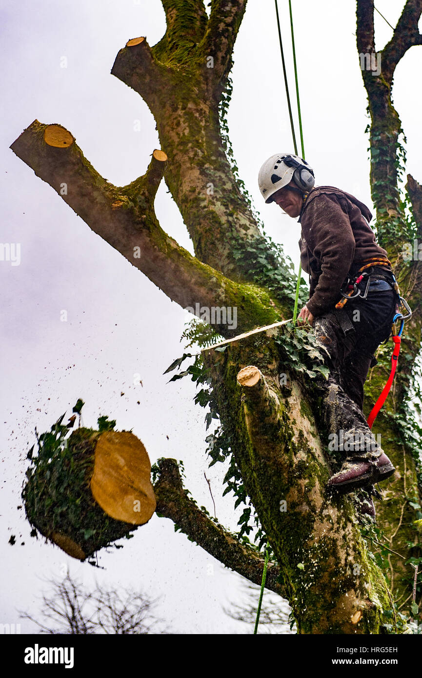Professional Tree Surgeon cuts down a rotten tree in a domestic garden using a chainsaw in Ballydehob, West Cork, - Stock Image