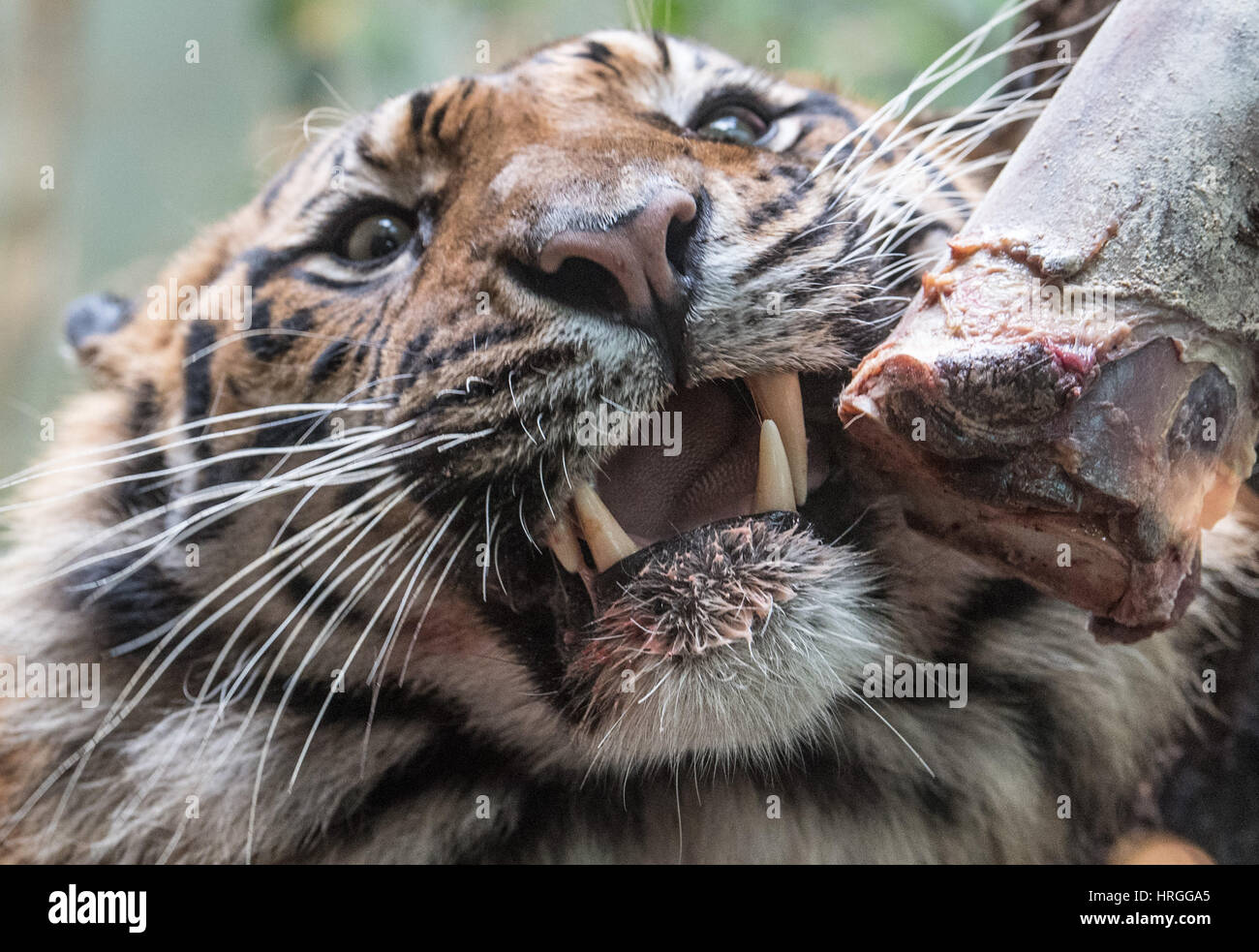 Frankfurt, Germany. 1st Mar, 2017. Vanni the tiger, a new arrival in the zoo in Frankfurt am Main, Germany, 01 March - Stock Image