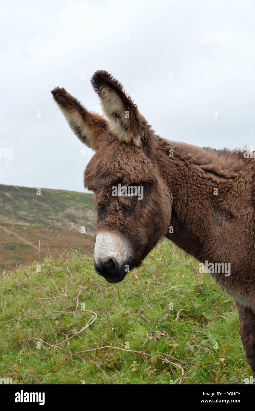 A baby donkey in Normandy, France - Stock Image