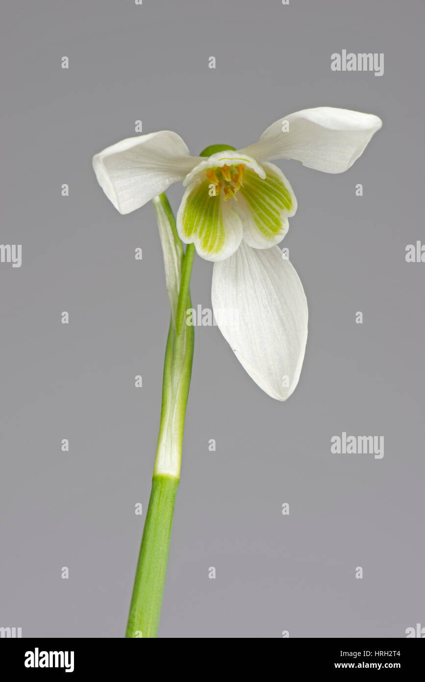 Single snowdrop, Galanthus nivalis, white and green spring flower with three outer petals and inner corolla Stock Photo