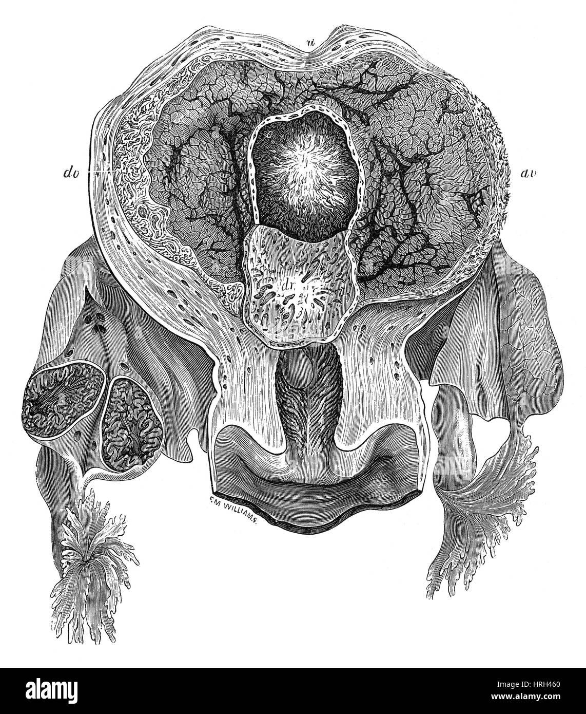 Uterus diagram stock photos uterus diagram stock images alamy human gravid uterus 25th day stock image ccuart Images