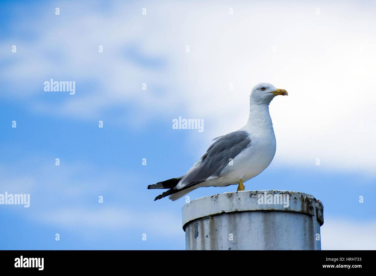 Moewe seagull Stock Photo: 134988423 Alamy