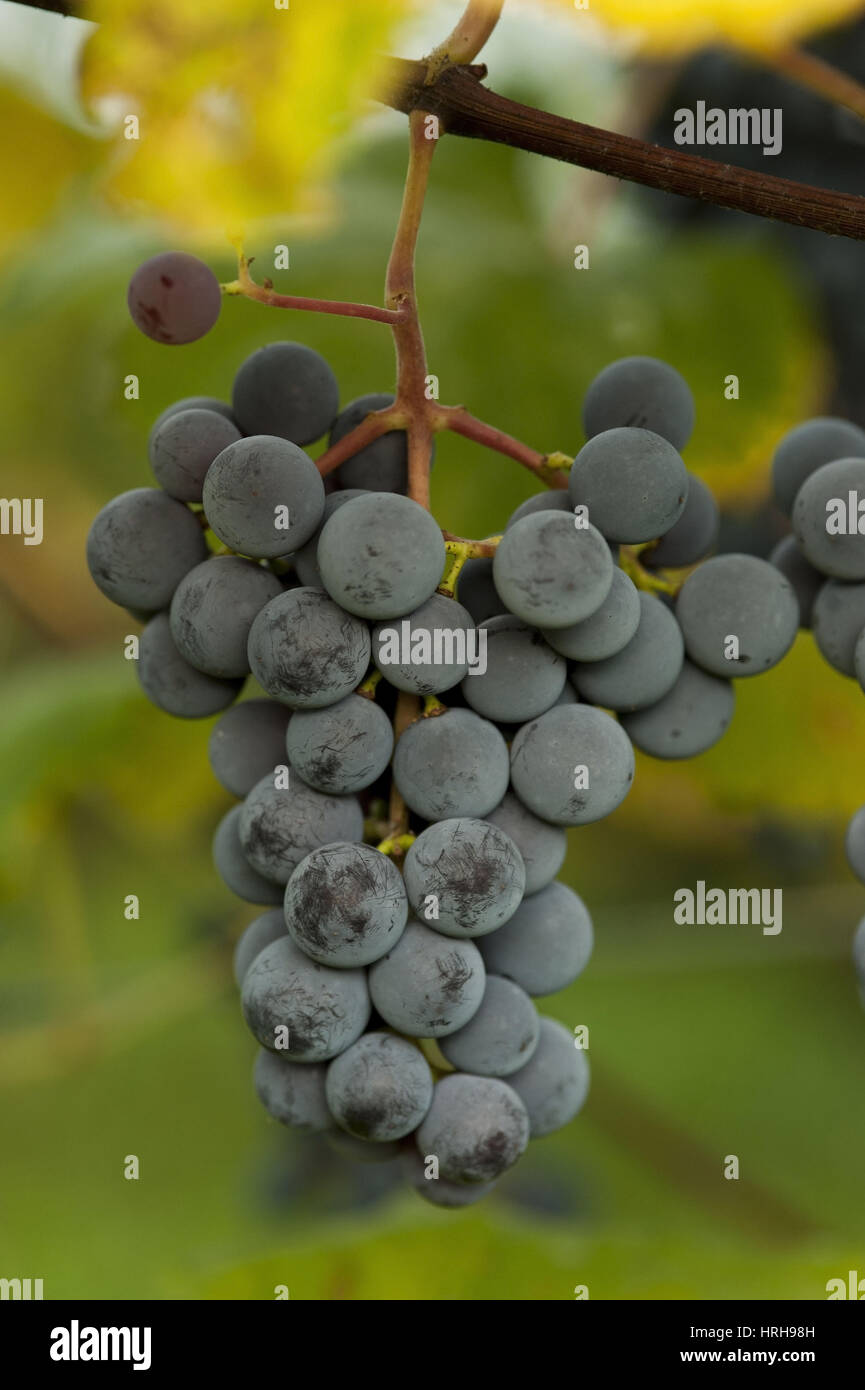 Weintrauben - grapes Stock Photo