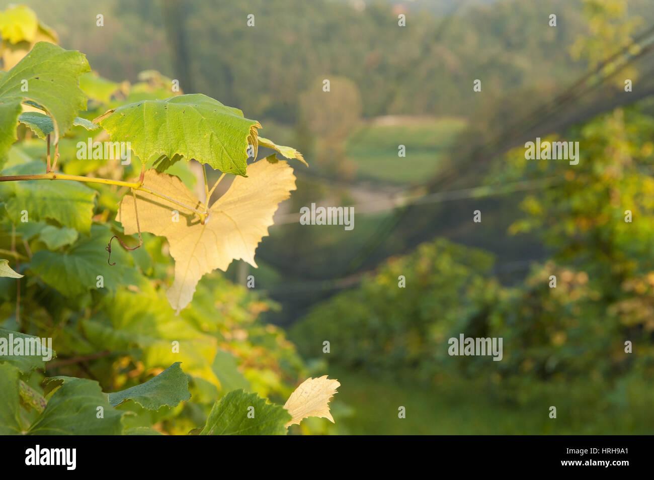 Weinberg mit Hagelnetz - vineyard with hail net Stock Photo