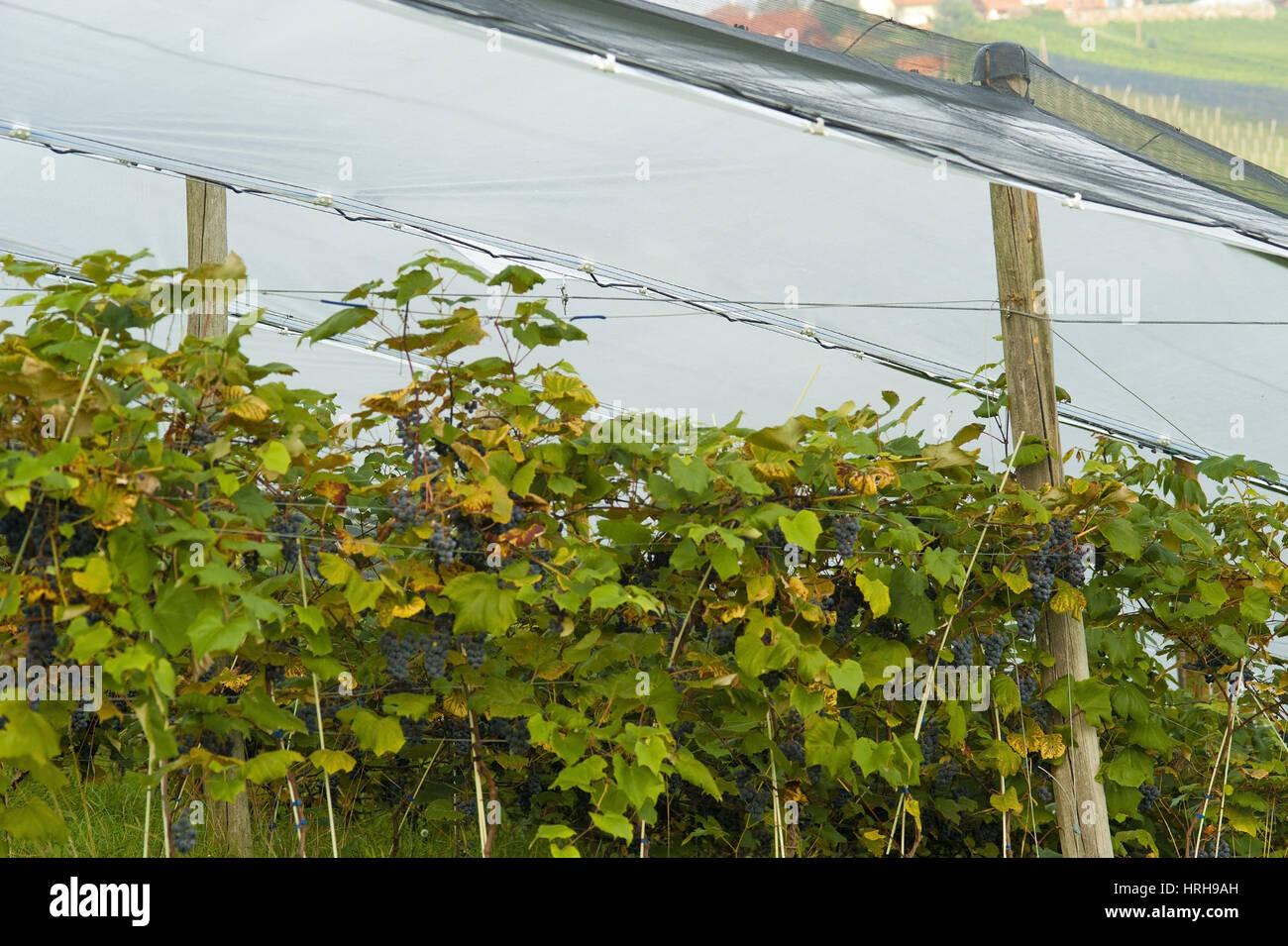 Weinstock mit Hagelnetz - grapevine with hail net Stock Photo