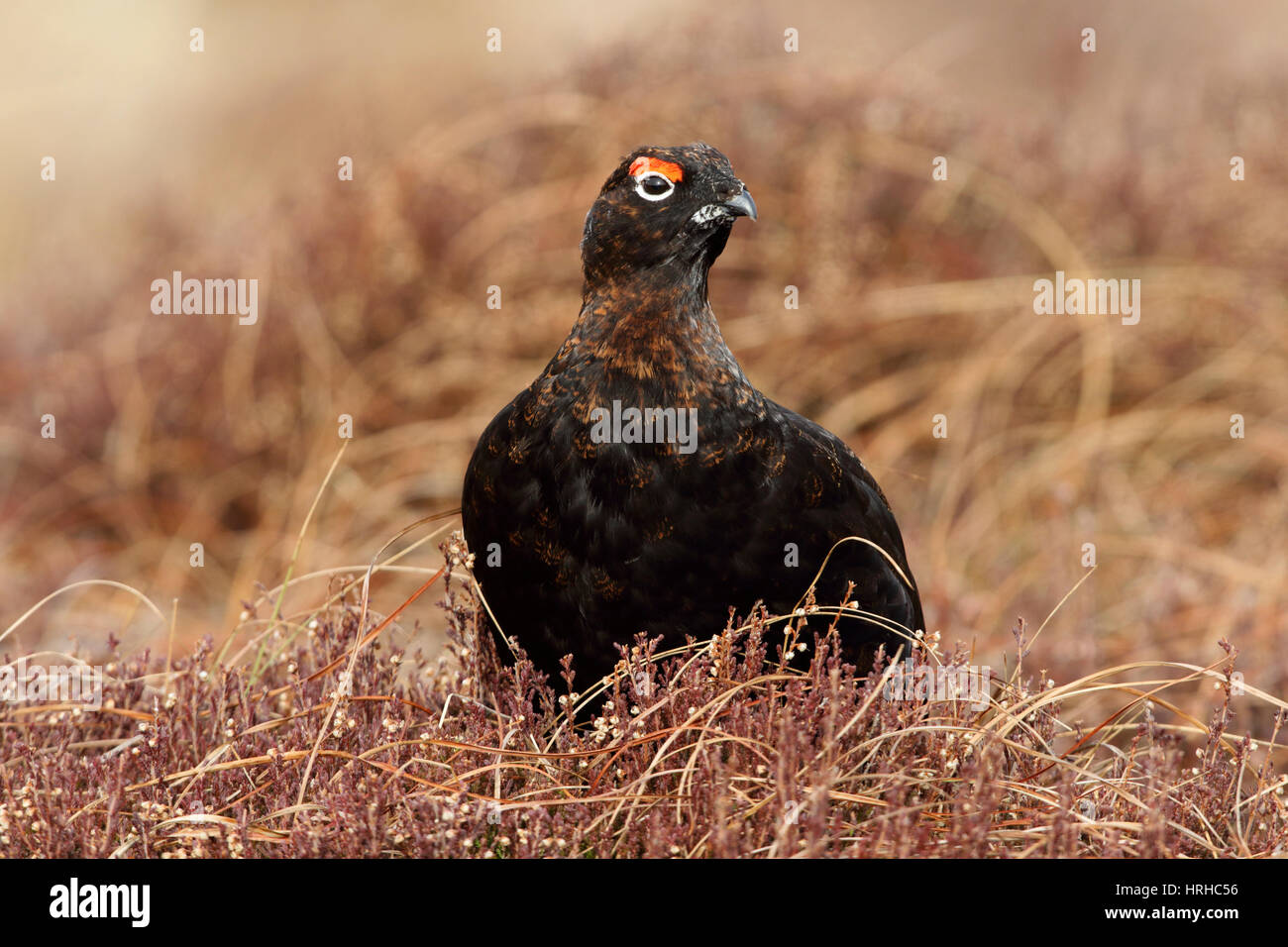 Male Red Grouse, Lagopus lagopus scotica, a very dark phase individual - Stock Image