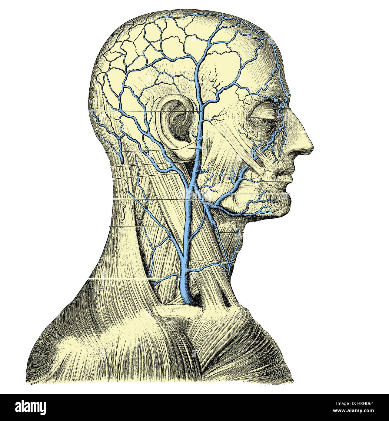Veins of the Head and Neck Stock Photo: 134993212 - Alamy