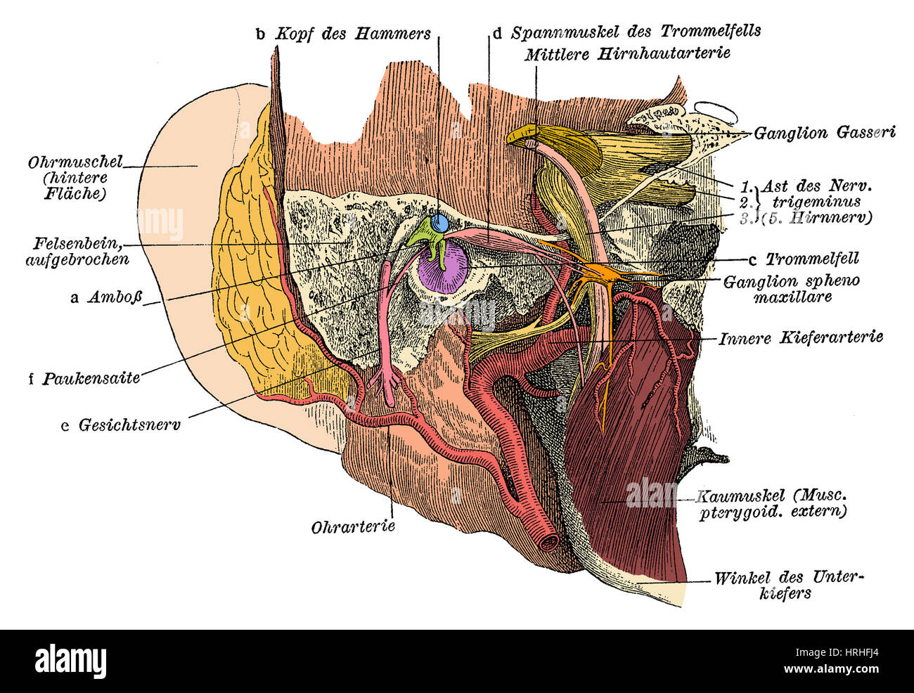 Facial Arteries Stock Photos & Facial Arteries Stock Images - Alamy