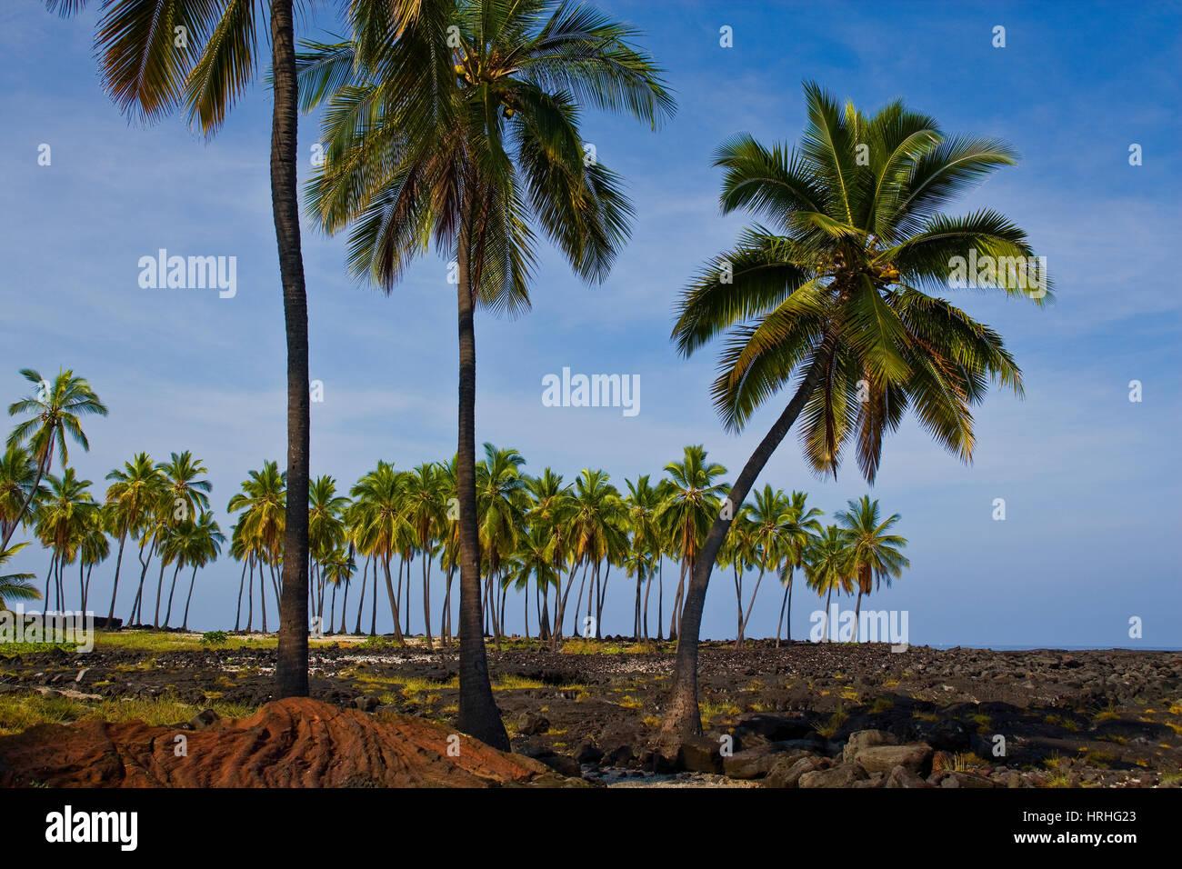 Palm trees at Pu'uhonua o Honaunau Big Island, Hawaii, USA - Stock Image