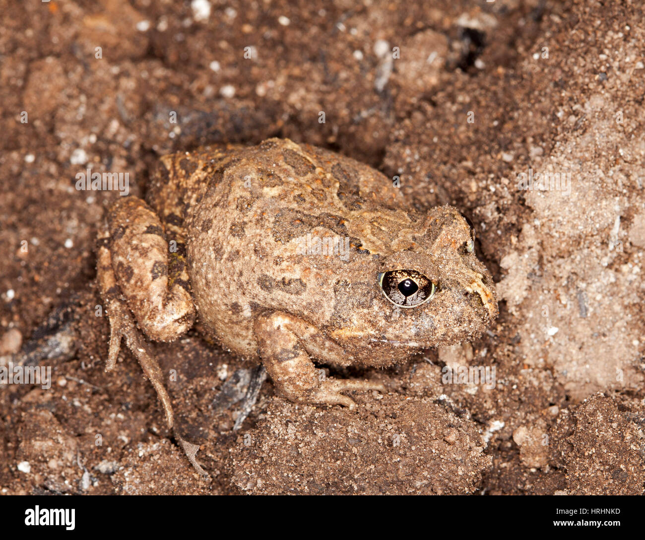 Small brown frog, ornate burrowing frog Platyplectrum ornatum syn. Opistodon ornatum camouflaged on brown soil of - Stock Image