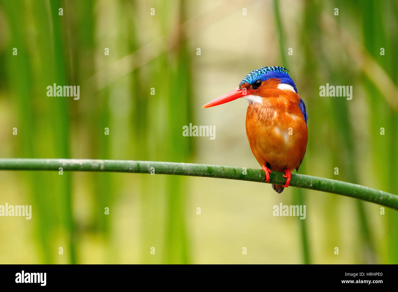 Kingfisher in the Amora Gedel national park in the vicinity of the Awasa town in Kenya - Stock Image
