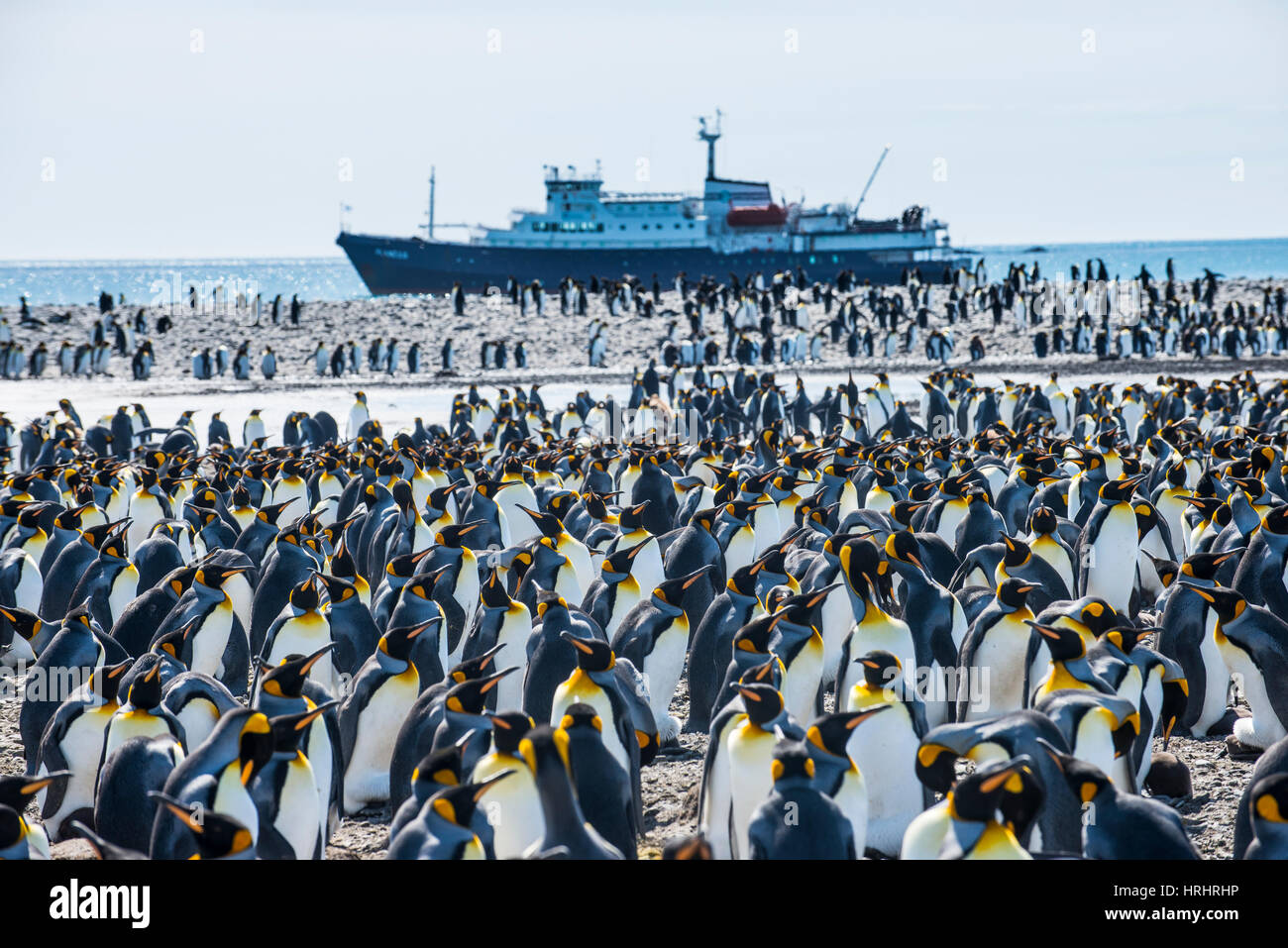 Giant king penguin (Aptenodytes patagonicus) colony and a cruise ship, Salisbury Plain, South Georgia, Antarctica, Stock Photo