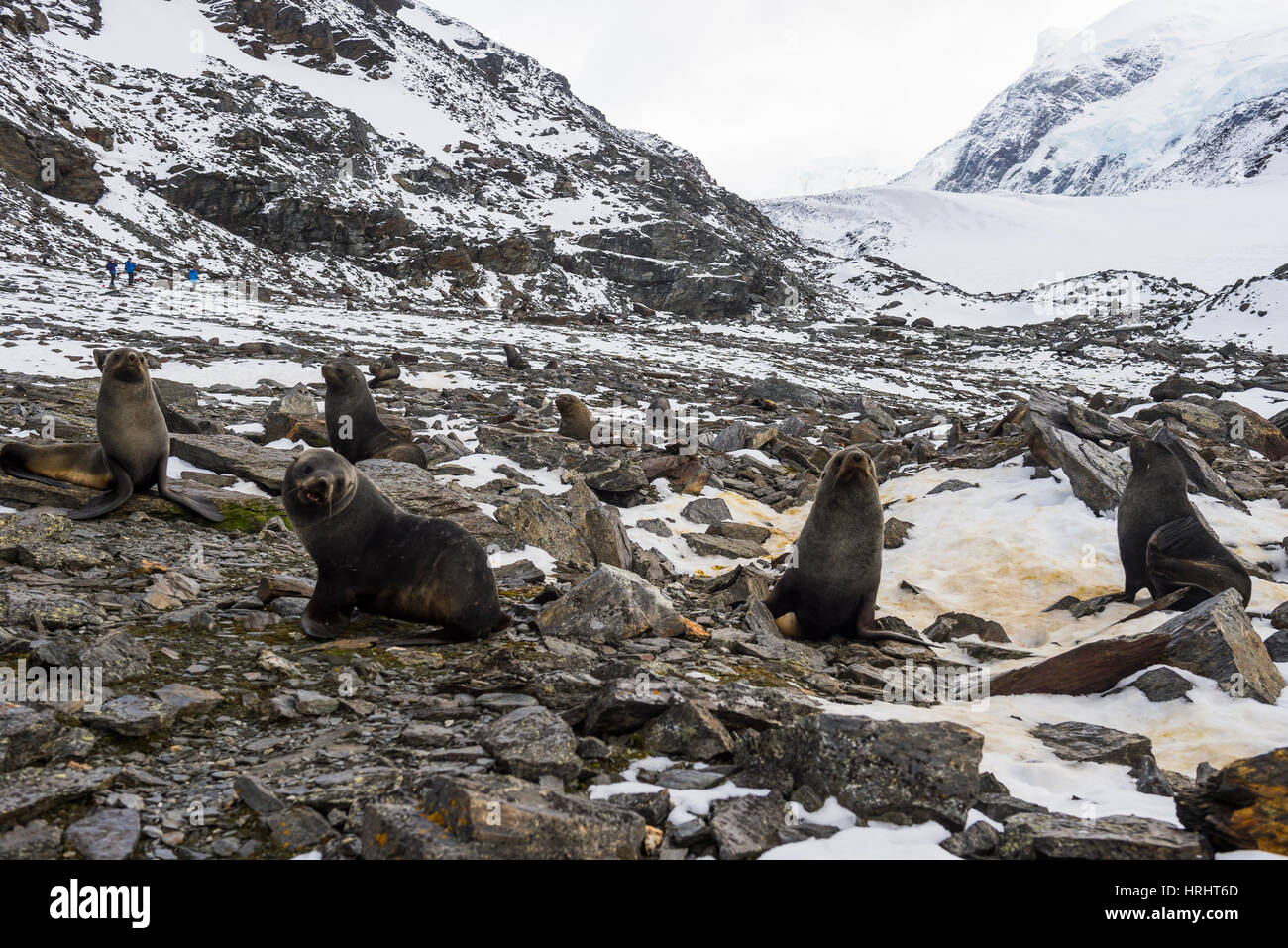 Antarctic fur seal (Arctocephalus gazella) colony, Coronation Island, South Orkney Islands, Antarctica, Polar Regions - Stock Image