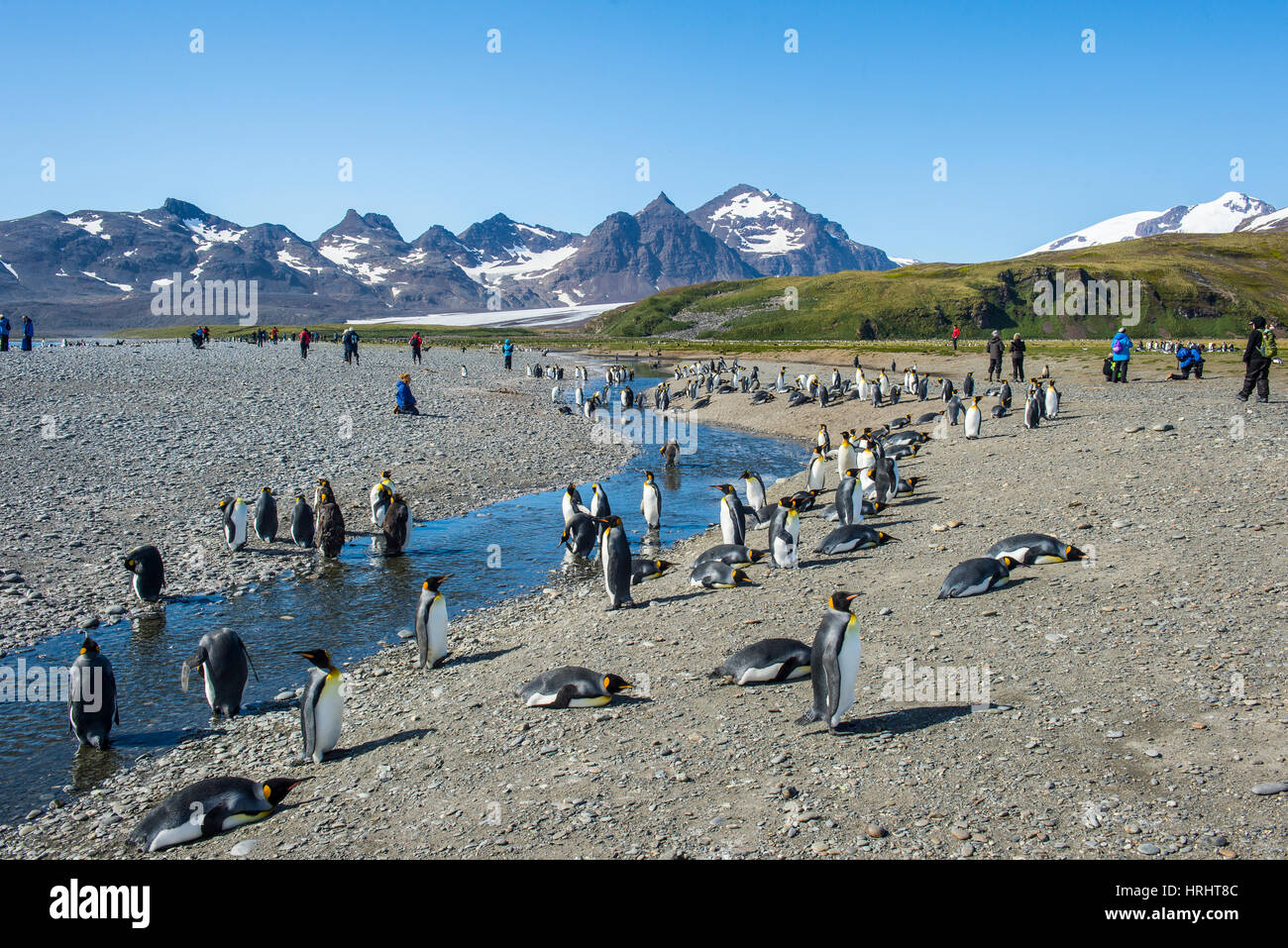 Giant king penguin (Aptenodytes patagonicus) colony, Salisbury Plain, South Georgia, Antarctica, Polar Regions - Stock Image