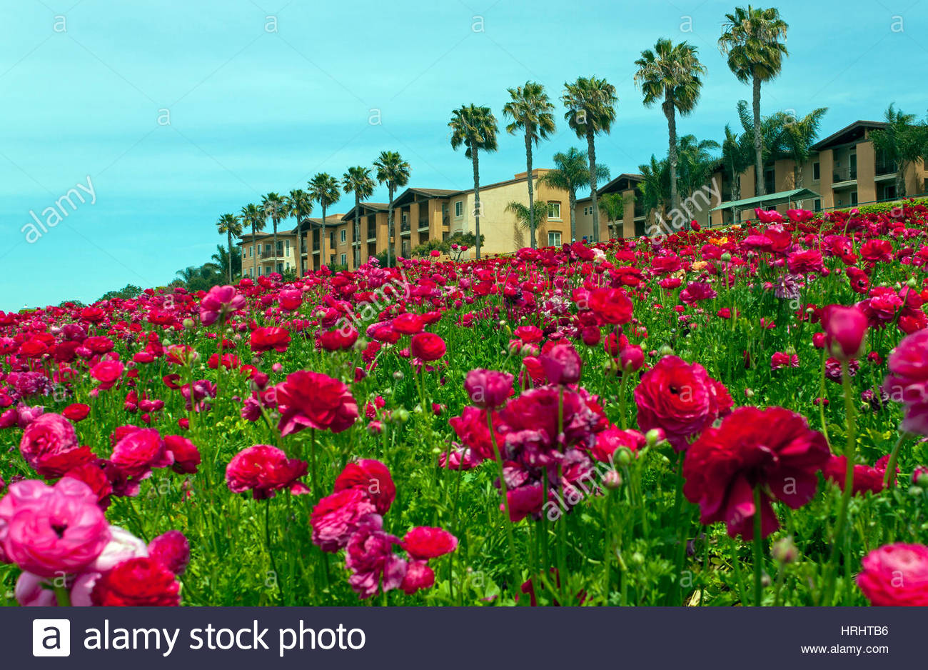Rows of colorful flowers grow on a hillside in carlsbad california rows of colorful flowers grow on a hillside in carlsbad california mightylinksfo