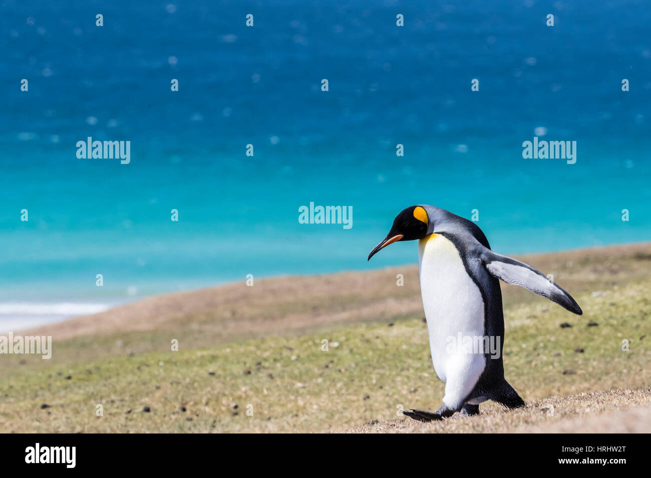 Adult king penguin (Aptenodytes patagonicus) on the grassy slopes of Saunders Island, Falkland Islands - Stock Image
