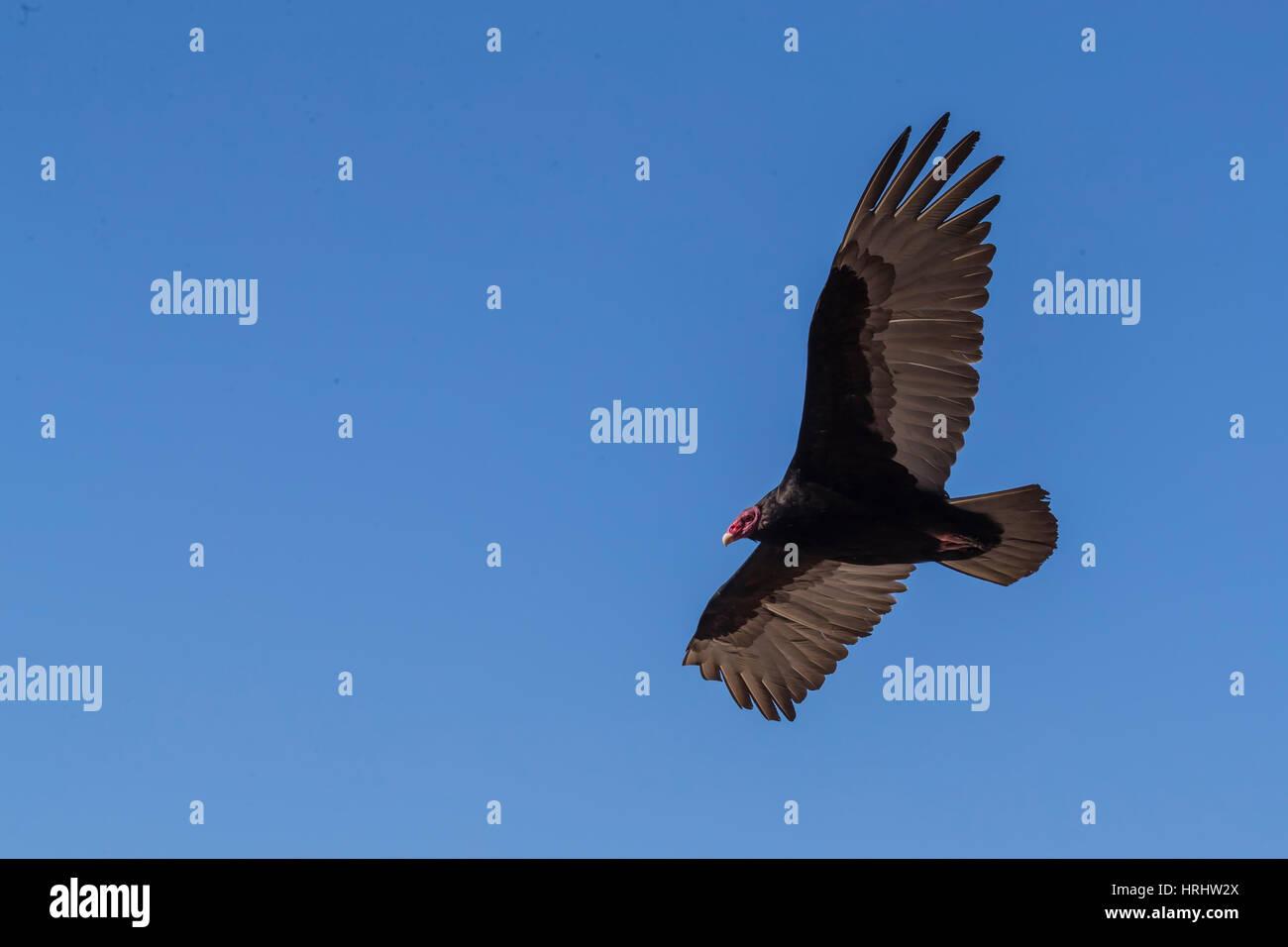 Adult turkey vulture (Cathartes aura) in flight over Saunders Island, Falkland Islands - Stock Image