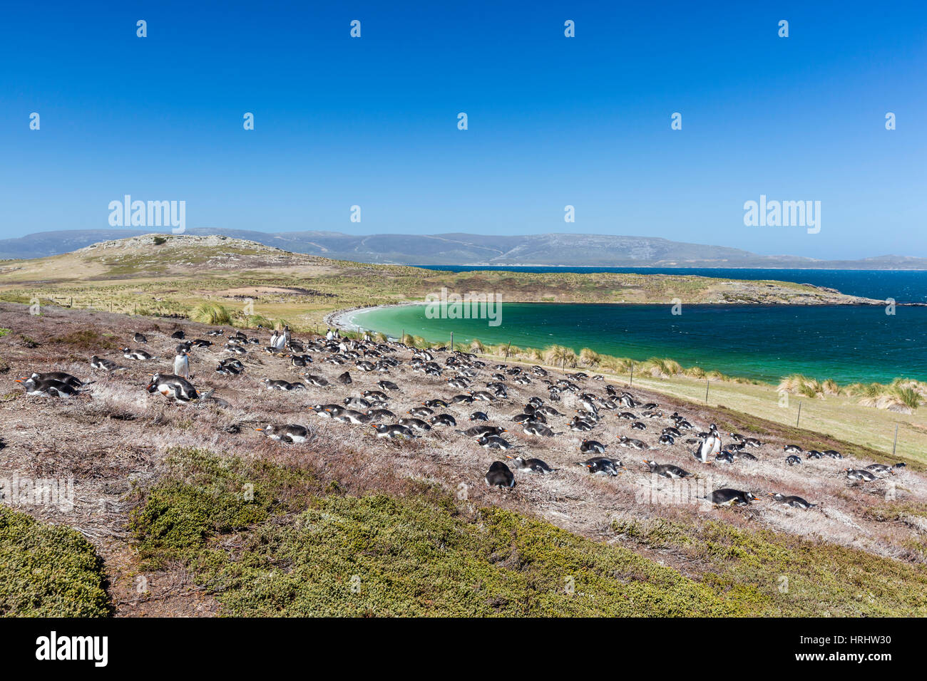 Gentoo penguin (Pygoscelis papua) breeding colony on the slopes of Carcass Island, Falkland Islands - Stock Image