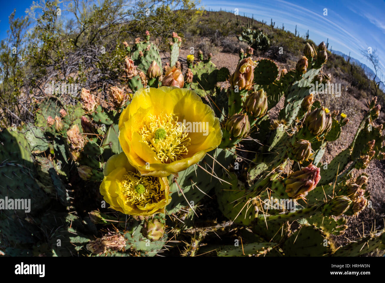 Yellow flowering cactus stock photos yellow flowering cactus stock flowering prickly pear cactus in the sweetwater preserve tucson arizona united states mightylinksfo