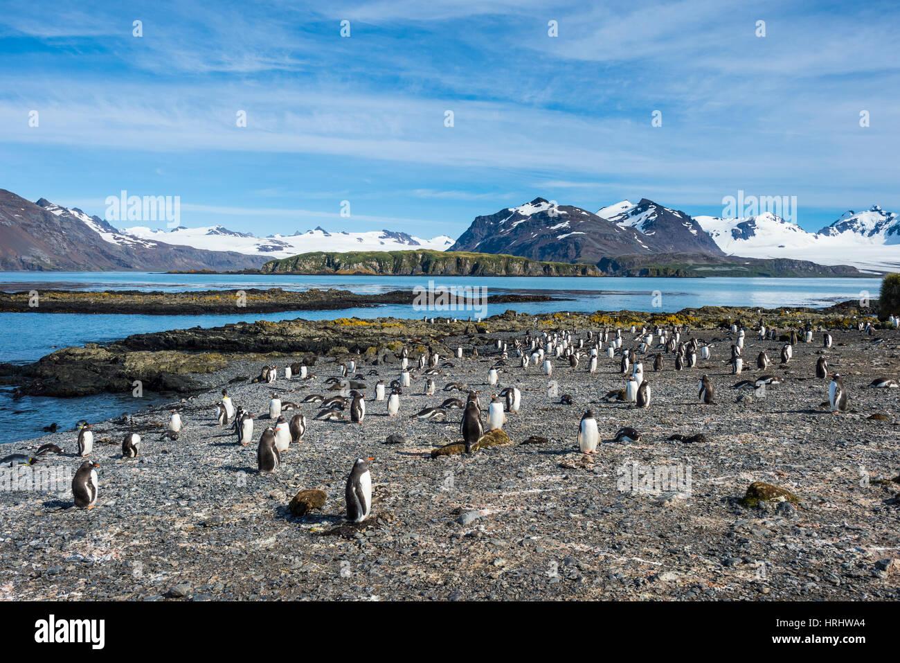 Gentoo penguins (Pygoscelis papua) colony, Prion Island, South Georgia, Antarctica, Polar Regions - Stock Image