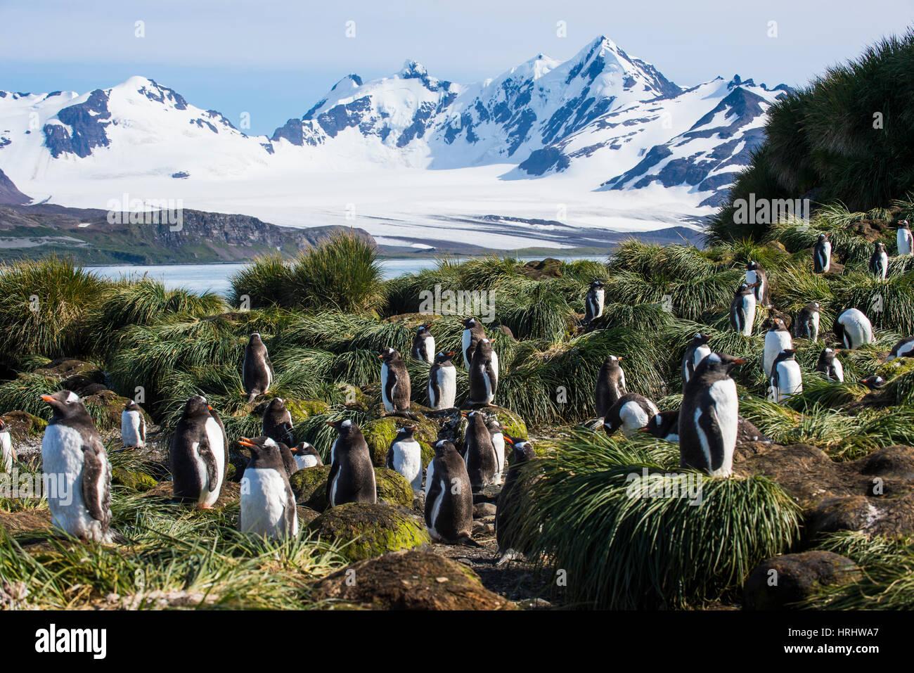 Gentoo penguin (Pygoscelis papua) colony, Prion Island, South Georgia, Antarctica, Polar Regions - Stock Image