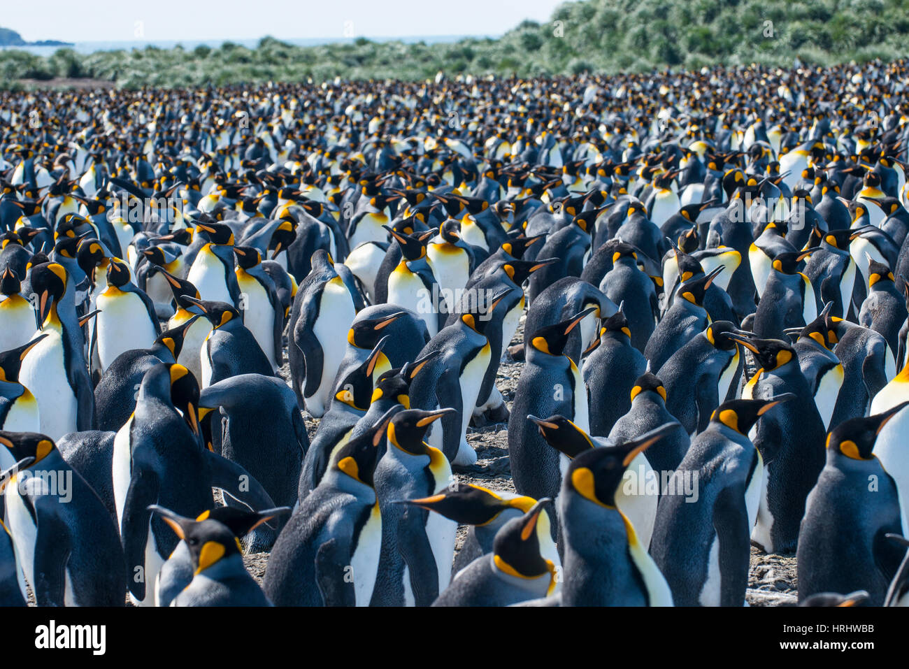 Giant king penguin (Aptenodytes patagonicus) colony, Salisbury Plain, South Georgia, Antarctica, Polar Regions Stock Photo
