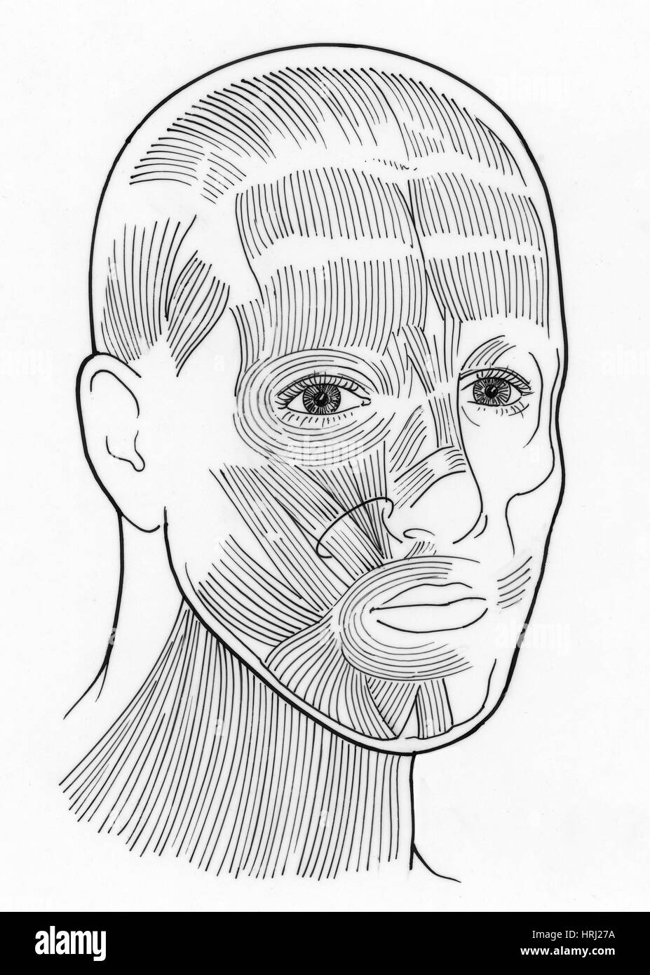 Illustration of Facial Muscles Stock Photo